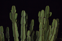 Cactus against black background