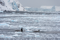 Orcas (Orcinus orca) swimming in Lemaire channel, Antarctic