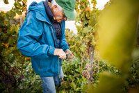 Senior man cutting grapes from vine in vineyard
