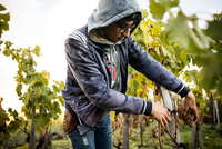 Young man cutting grapes from vine in vineyard