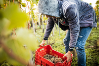 Young man lifting grape crate in vineyard