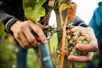 Close up of male hands cutting grapes from vine in vineyard