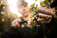 Close up of woman cutting grapes from vine in vineyard