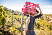 Young man carrying grape crate on shoulder in vineyard