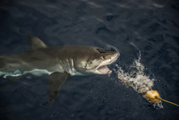 Great shark taking fishing bait, Guadalupe Island, Mexico