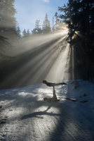 Silhouettes of acrobats in snow covered forest balancing, Frog lake, Mount Hood, Oregon, USA 11015308741| 写真素材・ストックフォト・画像・イラスト素材|アマナイメージズ