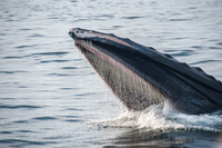 Humpback whale feeding on water surface, Provincetown, Massachusetts, USA