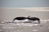 Humpback whale tail on water surface, Provincetown, Massachusetts, USA