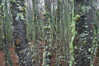 Patagonian Forest, moss on trees, Tierra del Fuego National Park, Argentina 11015310007| 写真素材・ストックフォト・画像・イラスト素材|アマナイメージズ