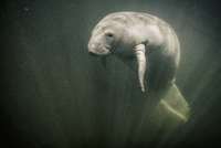 Manatee in the Chassahowitzka river, Florida, USA
