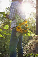 Young woman selecting sunflowers (helianthus) from sunlit flower farm field