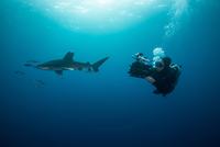 Scuba diver swimming with white tip shark (Carcharhinus longimanus) and pilot fish, underwater view, Brothers island, Egypt 11015314268| 写真素材・ストックフォト・画像・イラスト素材|アマナイメージズ