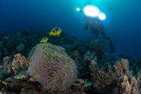 Scuba diver by Clownfish (amphiprion bicinctus), Marsa Alam, Egypt 11015314278| 写真素材・ストックフォト・画像・イラスト素材|アマナイメージズ