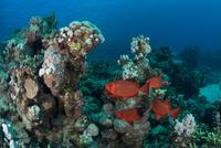 Fish by corals, Red Sea, Marsa Alam, Egypt 11015314285| 写真素材・ストックフォト・画像・イラスト素材|アマナイメージズ