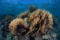 Corals, Red Sea, Marsa Alam, Egypt 11015314287| 写真素材・ストックフォト・画像・イラスト素材|アマナイメージズ