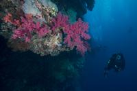 Scuba diver by coral, Red Sea, Marsa Alam, Egypt 11015314295| 写真素材・ストックフォト・画像・イラスト素材|アマナイメージズ