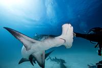 Underwater close up of male diver touching hammerhead shark 11015314426| 写真素材・ストックフォト・画像・イラスト素材|アマナイメージズ