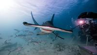 Underwater view male underwater photographer, photographing of hammerhead shark 11015314434| 写真素材・ストックフォト・画像・イラスト素材|アマナイメージズ