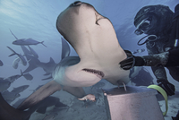 Underwater view of diver with hand on hammerhead shark 11015314442| 写真素材・ストックフォト・画像・イラスト素材|アマナイメージズ