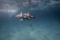 Underwater view of scuba diver following dolphins 11015314444| 写真素材・ストックフォト・画像・イラスト素材|アマナイメージズ