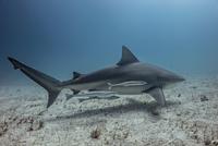 Underwater view of shark swimming near seabed 11015314450| 写真素材・ストックフォト・画像・イラスト素材|アマナイメージズ