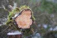 Cross section of cut tree 11015315211  写真素材・ストックフォト・画像・イラスト素材 アマナイメージズ