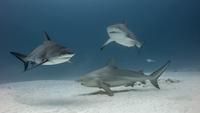 Group of Bull Sharks, underwater view, Playa del Carmen, Mexico 11015319525| 写真素材・ストックフォト・画像・イラスト素材|アマナイメージズ