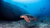 Sea Turtle, underwater view, Nassau, Bahamas 11015319529| 写真素材・ストックフォト・画像・イラスト素材|アマナイメージズ