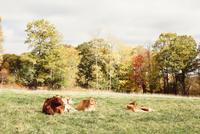 Cows resting on grass, Guilford, Vermont, USA 11015320401| 写真素材・ストックフォト・画像・イラスト素材|アマナイメージズ
