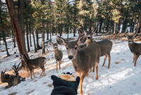 Person holding out hand with food, to entice deer, Florrisant, Colorado, USA 11015320646| 写真素材・ストックフォト・画像・イラスト素材|アマナイメージズ