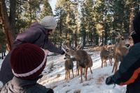 Woman offering food to deer in rural setting, Florrisant, Colorado, USA 11015320647| 写真素材・ストックフォト・画像・イラスト素材|アマナイメージズ