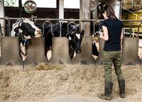 Female farmer looking at smartphone in organic dairy farm cow shed 11015320898| 写真素材・ストックフォト・画像・イラスト素材|アマナイメージズ