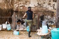 Rear view of female farmer looking at calves on organic dairy farm 11015321008| 写真素材・ストックフォト・画像・イラスト素材|アマナイメージズ