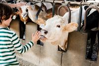 Cow licking boy's hand on organic dairy farm 11015321021| 写真素材・ストックフォト・画像・イラスト素材|アマナイメージズ