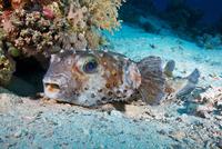 Spotbase burrfish (Cyclichthys spilostylus) 11015324084  写真素材・ストックフォト・画像・イラスト素材 アマナイメージズ