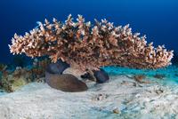 Giant moray (Gymnothorax javanicus) 11015324086  写真素材・ストックフォト・画像・イラスト素材 アマナイメージズ