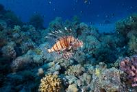 Red Lionfish (Pterois volitans) 11015324090  写真素材・ストックフォト・画像・イラスト素材 アマナイメージズ