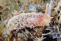 Aeolidia papillosa sea slug 11015324095| 写真素材・ストックフォト・画像・イラスト素材|アマナイメージズ
