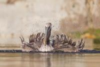 Brown pelican, Pelecanus occidentalis, juvenile 11015324226| 写真素材・ストックフォト・画像・イラスト素材|アマナイメージズ