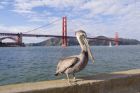 Brown pelican, Pelecanus occidentalis, adult, non breeding, Golden Gate Bridge, San Francisco Bay 11015324227| 写真素材・ストックフォト・画像・イラスト素材|アマナイメージズ