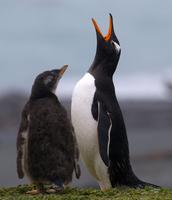 Gentoo penguin and chick, Macquarie Island, Southern Ocean 11015324686  写真素材・ストックフォト・画像・イラスト素材 アマナイメージズ