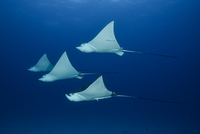 Spotted eagle rays (aetobatus narinari), underwater view, Cancun, Mexico 11015325063| 写真素材・ストックフォト・画像・イラスト素材|アマナイメージズ