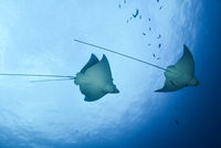 Spotted eagle rays (aetobatus narinari), underwater view, Cancun, Mexico 11015325064| 写真素材・ストックフォト・画像・イラスト素材|アマナイメージズ