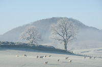 Herd of sheep in frosty field, The Lake District, UK 11015325382| 写真素材・ストックフォト・画像・イラスト素材|アマナイメージズ