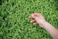 Young woman inspecting growing plant, close-up 11015325474| 写真素材・ストックフォト・画像・イラスト素材|アマナイメージズ