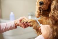 Hands of female groomer combing cocker spaniel's paw at dog grooming salon 11015326157| 写真素材・ストックフォト・画像・イラスト素材|アマナイメージズ