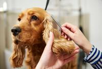 Hands of female groomer combing cocker spaniel's ear at dog grooming salon 11015326164| 写真素材・ストックフォト・画像・イラスト素材|アマナイメージズ