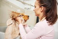 Female groomer towel drying head of cocker spaniel at dog grooming salon 11015326172| 写真素材・ストックフォト・画像・イラスト素材|アマナイメージズ