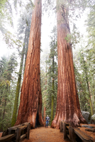 Woman looking up at sequoia trees in Sequoia National Park, California, United States 11015326494| 写真素材・ストックフォト・画像・イラスト素材|アマナイメージズ