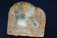 Piece of moldy bread